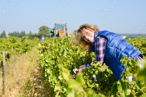 cheerful young woman harvesting grapes in vineyard - 70840979