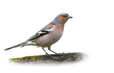 Common Chaffinch on White