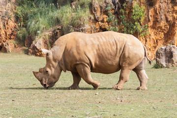 Large white rhinoceros (Ceratotherium simum)
