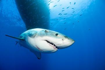 Mexiko, Guadalupe, Pazifik, Porträt von weißem Hai, Carcharodon carcharias