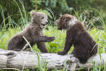 USA, Alaska, Lake Clark National Park and Preserve, spielende Braunbären (Ursus arctos), Jungtiere