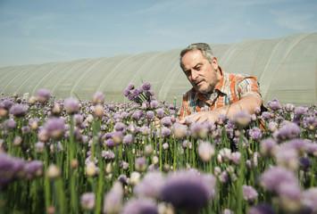 Deutschland, Hessen, Lampertheim, Landwirt, Ernte und Schnittlauch, Allium schoenoprasum