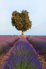 Frankreich, Provence Alpes Cote d'Azur, Roussillon, Blick auf die Lavendelfelder