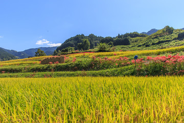 Rice fields on terraced of Asuka, Nara, Japan