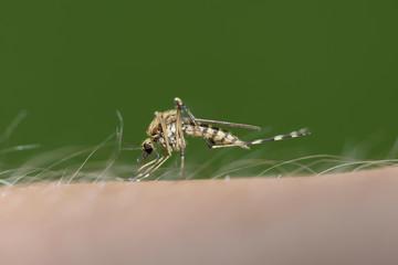 Stechende Mücke, Culex pipiens