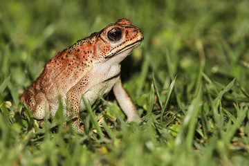 Indonesien, Bali, Close up der asiatischen Erdkröte, Bufo melanostictus
