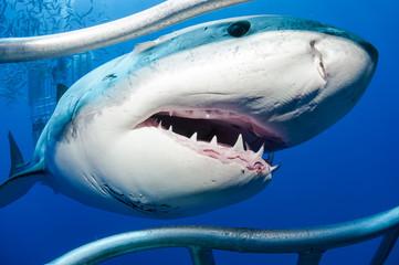 Mexiko, Guadalupe, Pazifik, Weißer Hai, Carcharodon carcharias, bei Hai-Käfig