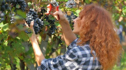 red-headed woman harvesting grapes