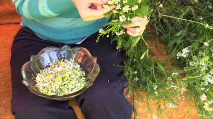 young girl hands pick camomile flower blooms in glass dish