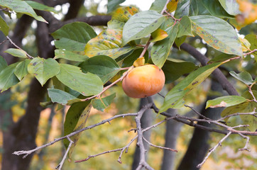 Persimmon tree in yoshino mountain