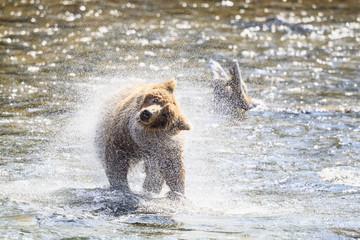 USA, Alaska, Katmai Nationalpark, Braunbär (Ursus arctos) in Brooks Falls schüttelt sich