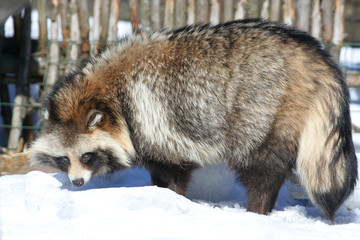Raccoon dog in winter