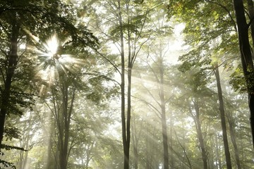Sunbeams pass through the branches in the misty autumnal forest