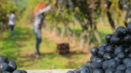 background with defocused women harvesting grapes