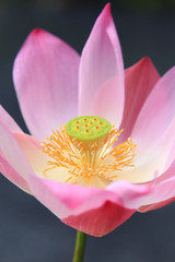 Close-up of pink  waterlily on tropical garden