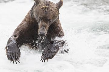 USA, Alaska, Katmai Nationalpark, Braunbär (Ursus arctos) in Brooks Falls, Futtersuche