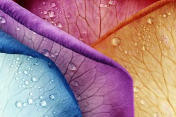 Wassertropfen auf farbigen Blütenblättern der Rose