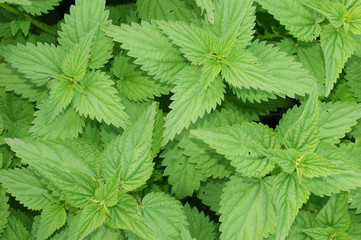 Nettle background
