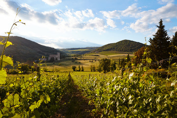 Vine plants and hills in region of Siena, Tuscany, Italy.