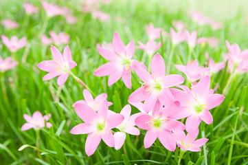 Zephyranthas rosea flowers