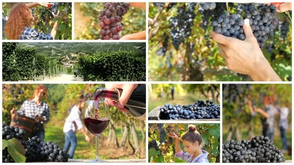 grape harvest montage