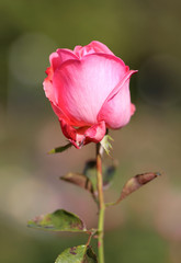 photo lovely Rose