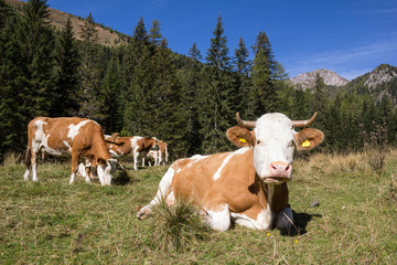 Herd Of Cows In The Nocky Mountains Of Carinthia