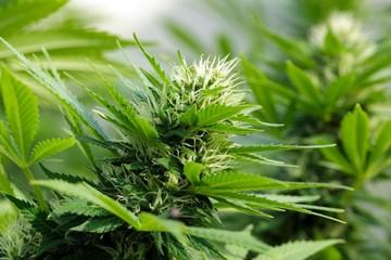Detail of a Cannabis flowerhead