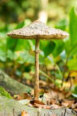großer Pilz in einem Wald