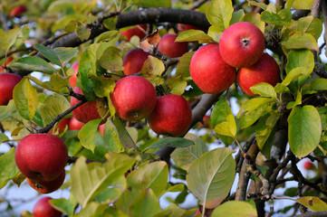 Sommer Äpfel