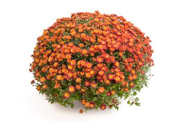 Bronzefarbene Chrysantheme
