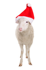 Sheep in Christmas clothes