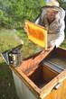 doświadczony pszczelarz pracujący w pasiece