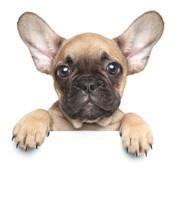 """Постер, картина, фотообои """"Puppy over a white banner"""""""