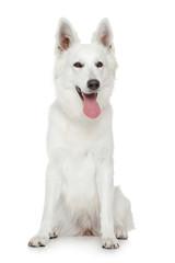 Swiss Shepherd dog on white background