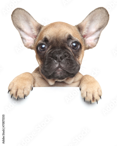 Poster Franse bulldog Puppy over a white banner
