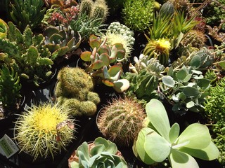 Variety of potted succulents at the market.