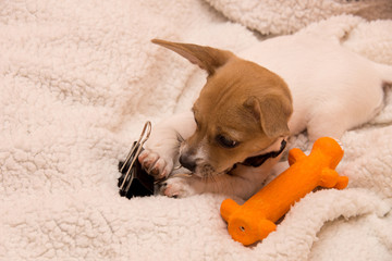 Jack Russell puppy with toys
