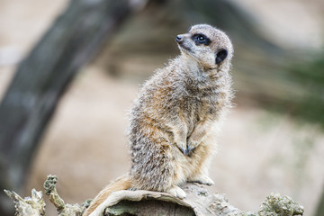 Meerkat guarding the territory