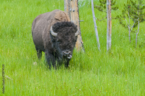 Fotobehang Bison Wild Bison