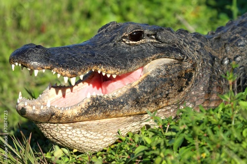 Fotobehang Krokodil American Alligator Basking in The Sun