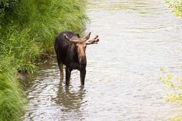 young male moose