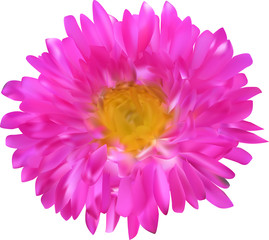 pink and yellow aster flower isolated on white