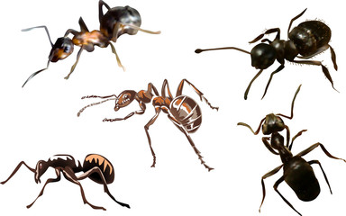 five dark ants on white