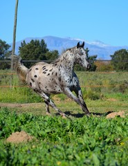 Appaloosa Horse Cantering