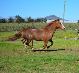 Horse Chestnut cantering