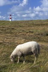 Schaf mit Leuchtturm am Ellenbogen auf Sylt