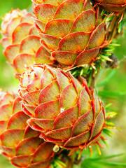 larch tree cones