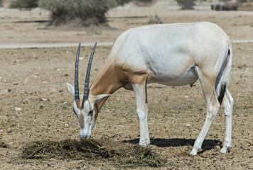 Baby of scimitar Oryx (Oryx leucoryx)