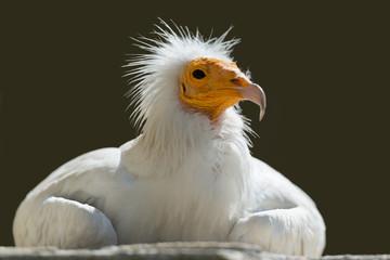 Schmutzgeier, Egyptian vulture, Neophron percnopterus